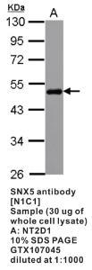 Anti-SNX5 Rabbit Polyclonal Antibody