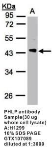 Anti-PDCL Rabbit Polyclonal Antibody