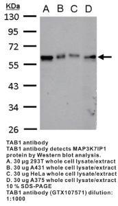 Anti-TAB1 Rabbit Polyclonal Antibody