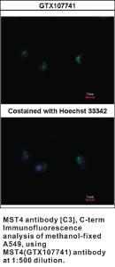 Anti-STK26 Rabbit Polyclonal Antibody