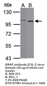 Anti-ARHGAP26 Rabbit Polyclonal Antibody