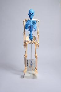 Human skeleton model with fold-out guide