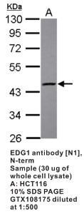 Anti-S1PR1 Rabbit Polyclonal Antibody