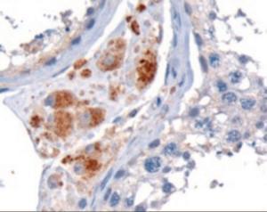STK35 staining of paraffin embedded human testis using STK35 Antibody at 10 ug/mL.