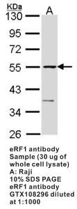Anti-ERF Rabbit Polyclonal Antibody