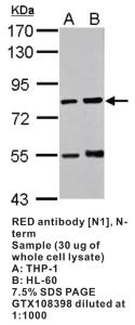 Anti-RED Rabbit Polyclonal Antibody
