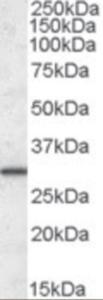 Western blot analysis of ERP29 in human liver lysate (35 ug protein in RIPA buffer) using ERP29 Antibody at 0.1 ug/mL.