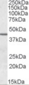Western blot analysis of SEPT2 in human testis lysate (35 ug protein in RIPA buffer) using SEPT2 Antibody at 0.05 ug/mL.
