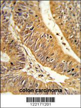 Anti-CXXC4 Rabbit Polyclonal Antibody