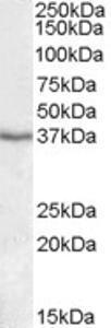 Western blot analysis of Paraoxonase 1 in human liver lysate (35 ug protein in RIPA buffer) using Paraoxonase 1 Antibody at 1 ug/mL.