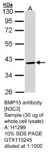 Anti-PMS2 Rabbit Polyclonal Antibody