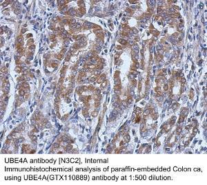 Anti-ANGPTL7 Rabbit Polyclonal Antibody