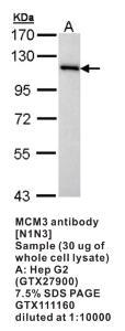 Anti-MCM3 Rabbit Polyclonal Antibody