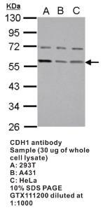 Anti-FZR1 Rabbit Polyclonal Antibody