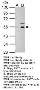 Anti-WNT1 Rabbit Polyclonal Antibody
