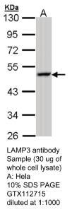 Anti-CXCL14 Rabbit Polyclonal Antibody
