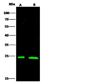 Anti-PSMB6 Rabbit Polyclonal Antibody