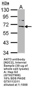 Anti-AKT3 Rabbit Polyclonal Antibody