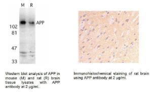 Anti-APP Rabbit Polyclonal Antibody