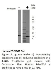 Animal-Free Human EG-VEGF