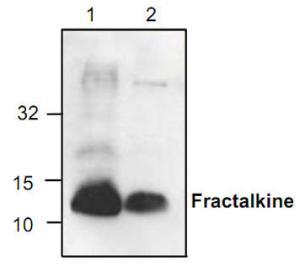 Anti-Fractalkine Rabbit Polyclonal Antibody