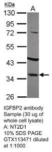 Anti-OAZ Rabbit Polyclonal Antibody