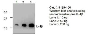Anti-IL1B Rabbit Polyclonal Antibody