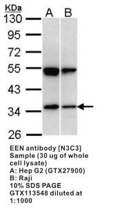 Anti-SH3GL1 Rabbit Polyclonal Antibody