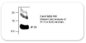 Anti-IP10 Rabbit Polyclonal Antibody