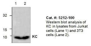 Anti-CDH6 Rabbit Polyclonal Antibody