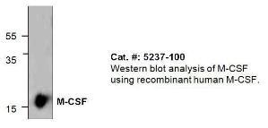 Anti-MCSF Rabbit Polyclonal Antibody