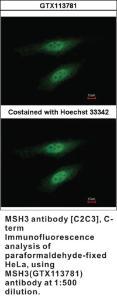 Anti-MSH3 Rabbit Polyclonal Antibody
