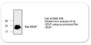 Anti-VEGF Rabbit Polyclonal Antibody