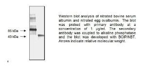 Anti-Nitrotyrosine Mouse Monoclonal Antibody [clone: HM11]