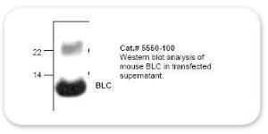 Anti-BLC Rabbit Polyclonal Antibody