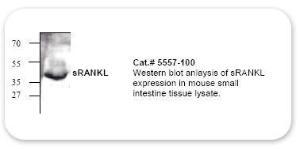 Anti-sRANK Ligand Polyclonal Rabbit Polyclonal Antibody