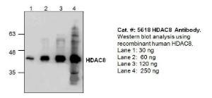 Anti-HDAC8 Rabbit Polyclonal Antibody