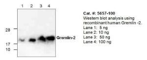 Anti-GREM2 Rabbit Polyclonal Antibody