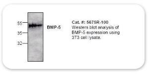 Anti-BMP5 Rabbit Polyclonal Antibody
