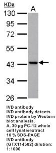 Anti-IVD Rabbit Polyclonal Antibody