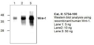 Anti-WNT1 Rabbit Polyclonal Antibody