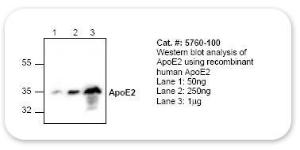 Anti-GDF3 Rabbit Polyclonal Antibody