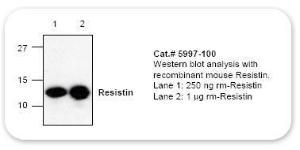 Anti-RETN Rabbit Polyclonal Antibody