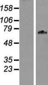 Anti-Cip4 Rabbit Polyclonal Antibody