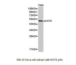 Anti-KAT8 Rabbit Polyclonal Antibody
