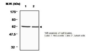 Anti-Thioredoxin Reductase 1 Mouse Monoclonal Antibody [clone: 19A1]