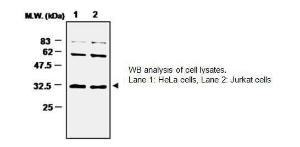 Anti-Superoxide Dismutase 4 Mouse Monoclonal Antibody [clone: 3A1]