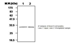Anti-GPX3 Mouse Monoclonal Antibody [clone: 55A]
