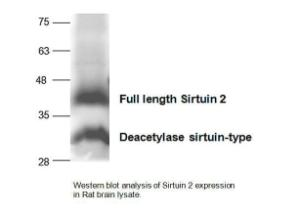 Anti-SIRT2 Rabbit Polyclonal Antibody