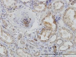 Anti-ACTR2 Mouse Monoclonal Antibody [clone: 1B1-C4]
